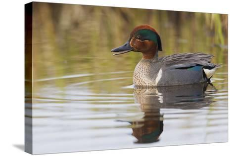 Green Winged Teal-Ken Archer-Stretched Canvas Print