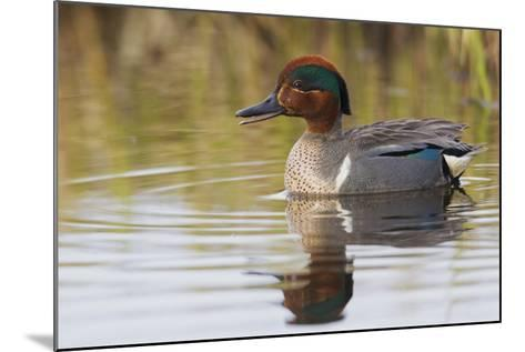 Green Winged Teal-Ken Archer-Mounted Photographic Print