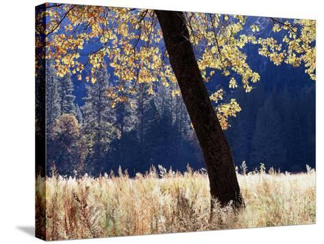 California, Sierra Nevada, Yosemite National Park, a Backlit California Black Oak-Christopher Talbot Frank-Stretched Canvas Print