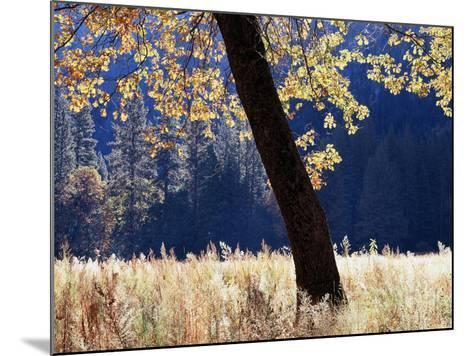 California, Sierra Nevada, Yosemite National Park, a Backlit California Black Oak-Christopher Talbot Frank-Mounted Photographic Print