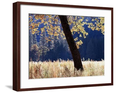 California, Sierra Nevada, Yosemite National Park, a Backlit California Black Oak-Christopher Talbot Frank-Framed Art Print