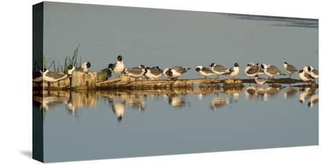 Montana, Red Rock Lakes Nwr, Franklyns Gulls and One Foresters Tern-Elizabeth Boehm-Stretched Canvas Print