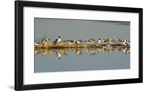 Montana, Red Rock Lakes Nwr, Franklyns Gulls and One Foresters Tern-Elizabeth Boehm-Framed Art Print