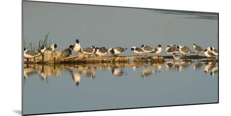 Montana, Red Rock Lakes Nwr, Franklyns Gulls and One Foresters Tern-Elizabeth Boehm-Mounted Photographic Print