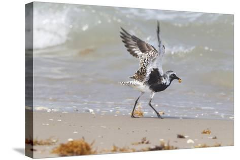 South Padre Island, Texas. Black Bellied Plover with Meal-Larry Ditto-Stretched Canvas Print