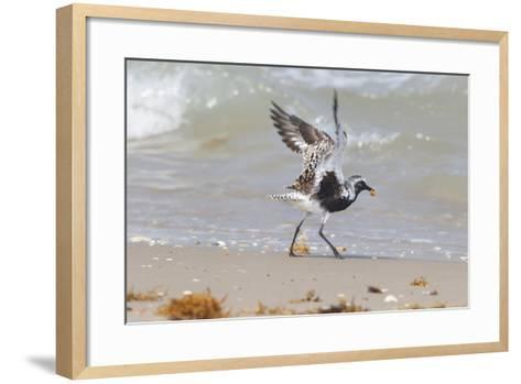South Padre Island, Texas. Black Bellied Plover with Meal-Larry Ditto-Framed Art Print