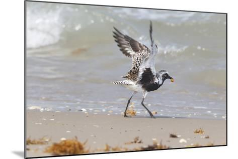 South Padre Island, Texas. Black Bellied Plover with Meal-Larry Ditto-Mounted Photographic Print