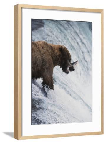 Alaska, Brown Bears Feeding on Sockeye Salmon in Katmai National Park-Stuart Westmorland-Framed Art Print