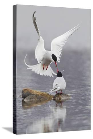 Arctic Terns, Courtship-Ken Archer-Stretched Canvas Print