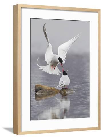 Arctic Terns, Courtship-Ken Archer-Framed Art Print