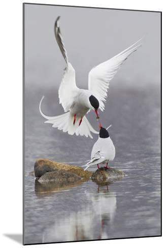 Arctic Terns, Courtship-Ken Archer-Mounted Photographic Print