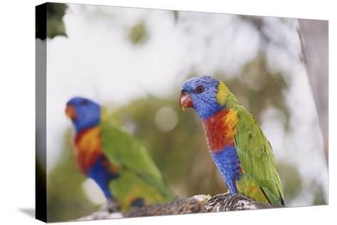 Australia, East Coast, Rainbow Lorikeets-Peter Skinner-Stretched Canvas Print