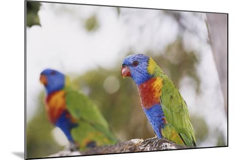 Australia, East Coast, Rainbow Lorikeets-Peter Skinner-Mounted Photographic Print