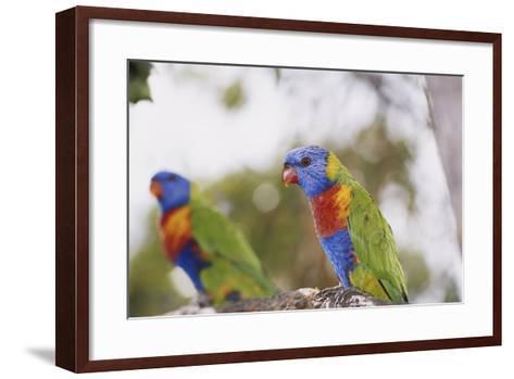 Australia, East Coast, Rainbow Lorikeets-Peter Skinner-Framed Art Print