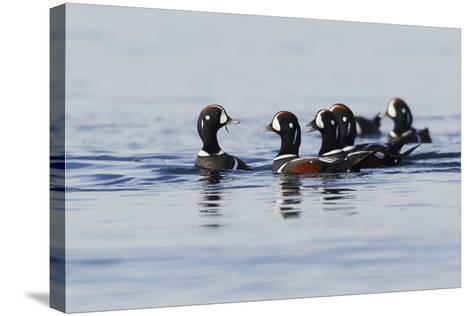 Harlequin Ducks-Ken Archer-Stretched Canvas Print