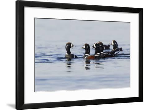 Harlequin Ducks-Ken Archer-Framed Art Print
