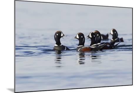 Harlequin Ducks-Ken Archer-Mounted Photographic Print