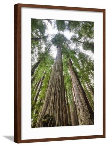 Redwood Trees in Morning Fog with Sunrays-Terry Eggers-Framed Art Print