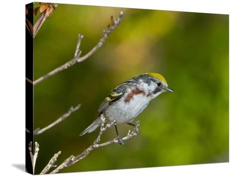 Minnesota, Mendota Heights, Chestnut Sided Warbler Perched on a Branch-Bernard Friel-Stretched Canvas Print