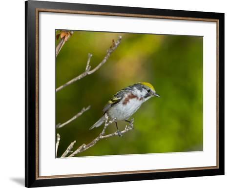 Minnesota, Mendota Heights, Chestnut Sided Warbler Perched on a Branch-Bernard Friel-Framed Art Print