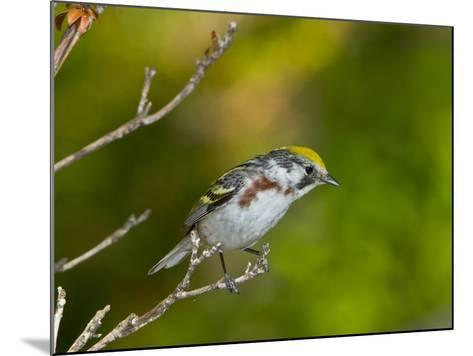 Minnesota, Mendota Heights, Chestnut Sided Warbler Perched on a Branch-Bernard Friel-Mounted Photographic Print