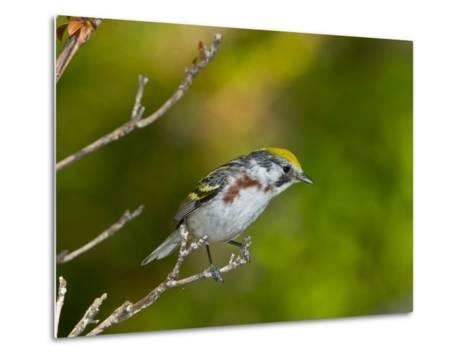 Minnesota, Mendota Heights, Chestnut Sided Warbler Perched on a Branch-Bernard Friel-Metal Print