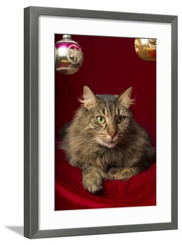 Maine Coon for Christmas with Collector Ornaments-Maresa Pryor-Framed Art Print