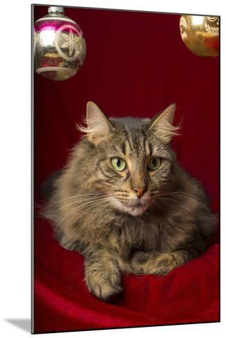 Maine Coon for Christmas with Collector Ornaments-Maresa Pryor-Mounted Photographic Print