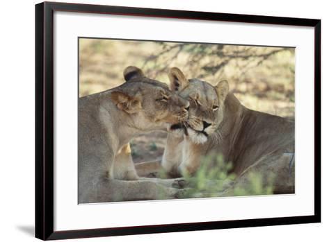 South Africa, Kalahari Gemsbok National Park, Kgalagadi Park, Pride of Lions-Paul Souders-Framed Art Print