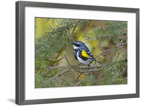 Minnesota, Mendota Heights, Yellow Rumped Warbler Perched on Branch-Bernard Friel-Framed Art Print