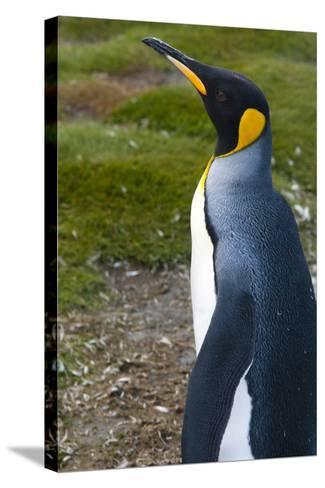 South Georgia. Salisbury Plain. King Penguins, Aptenodytes Patagonicus-Inger Hogstrom-Stretched Canvas Print