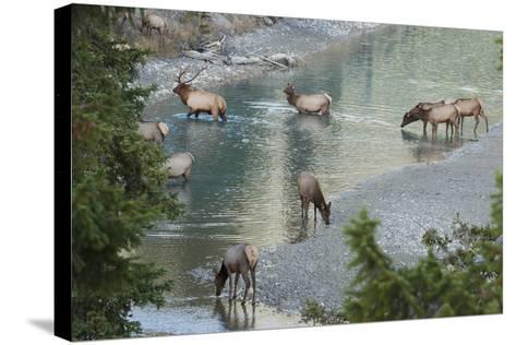 Rocky Mountain Elk Herd Crossing Mountain Stream-Ken Archer-Stretched Canvas Print