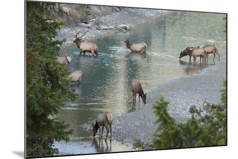 Rocky Mountain Elk Herd Crossing Mountain Stream-Ken Archer-Mounted Photographic Print
