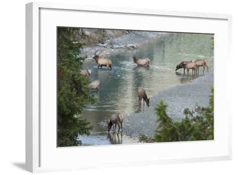 Rocky Mountain Elk Herd Crossing Mountain Stream-Ken Archer-Framed Art Print