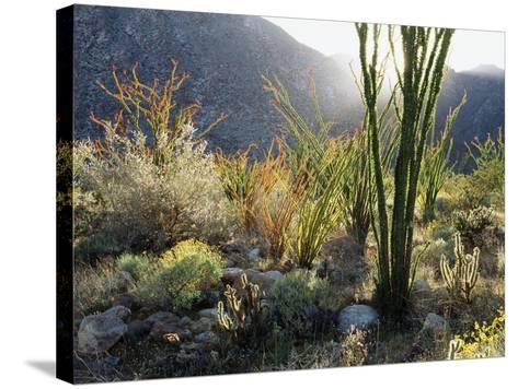 California, Anza Borrego Desert Sp, the Sunset Through Ocotillos-Christopher Talbot Frank-Stretched Canvas Print