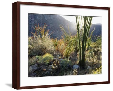California, Anza Borrego Desert Sp, the Sunset Through Ocotillos-Christopher Talbot Frank-Framed Art Print