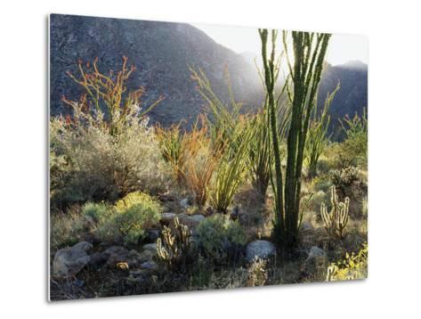 California, Anza Borrego Desert Sp, the Sunset Through Ocotillos-Christopher Talbot Frank-Metal Print