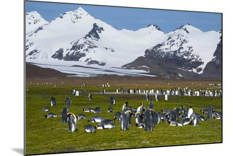 South Georgia. Salisbury Plain. King Penguins, Aptenodytes Patagonicus-Inger Hogstrom-Mounted Photographic Print