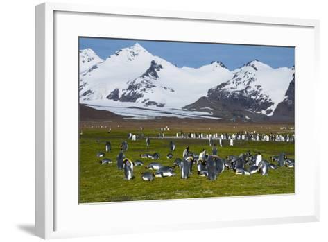 South Georgia. Salisbury Plain. King Penguins, Aptenodytes Patagonicus-Inger Hogstrom-Framed Art Print