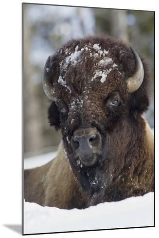 Bison Bull, Winter-Ken Archer-Mounted Photographic Print