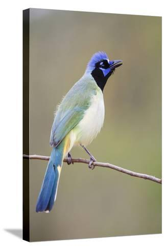 Starr County, Texas. Green Jay Threat Display to Other Jays-Larry Ditto-Stretched Canvas Print