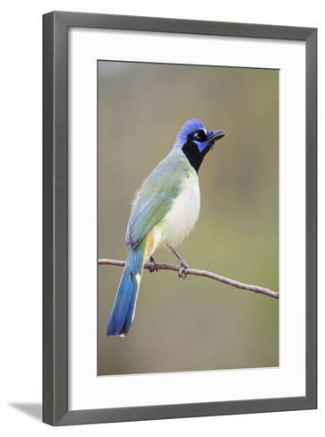 Starr County, Texas. Green Jay Threat Display to Other Jays-Larry Ditto-Framed Art Print