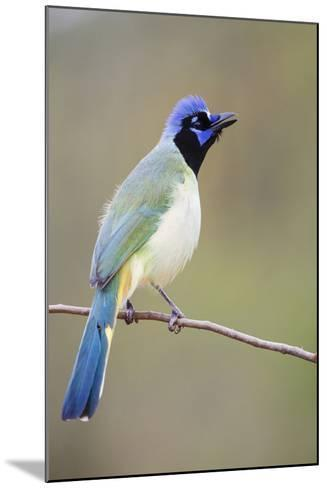 Starr County, Texas. Green Jay Threat Display to Other Jays-Larry Ditto-Mounted Photographic Print