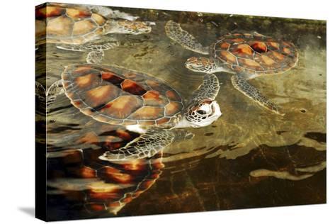 Tanzania, Zanzibar, Nungwi, Mnarani Aquarium, Swimming Turtles-Anthony Asael-Stretched Canvas Print