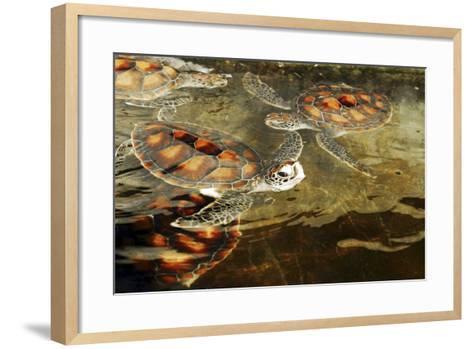 Tanzania, Zanzibar, Nungwi, Mnarani Aquarium, Swimming Turtles-Anthony Asael-Framed Art Print