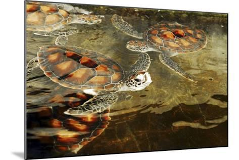 Tanzania, Zanzibar, Nungwi, Mnarani Aquarium, Swimming Turtles-Anthony Asael-Mounted Photographic Print