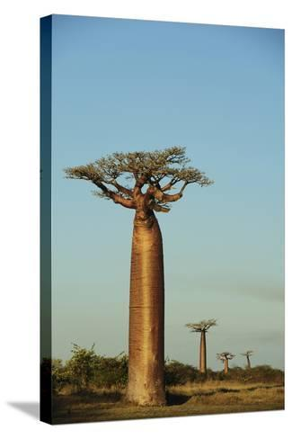 Madagascar, Morondava, Baobab Alley, View on Adansonia Grandidieri-Anthony Asael-Stretched Canvas Print