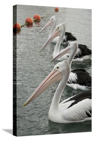 Australia, Albany, Oyster Harbor. Australian Pelican-Cindy Miller Hopkins-Stretched Canvas Print