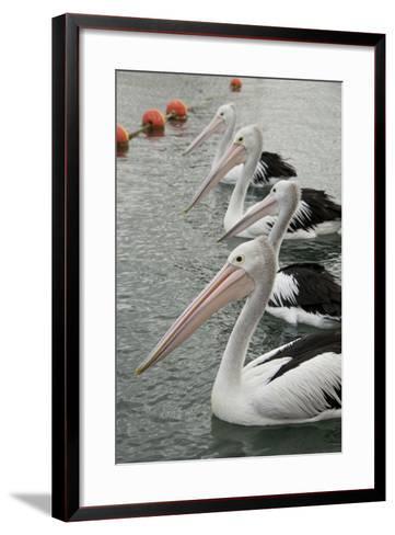 Australia, Albany, Oyster Harbor. Australian Pelican-Cindy Miller Hopkins-Framed Art Print