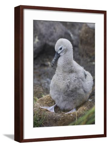Falkland Islands. West Point Island. Black Browed Albatross Chick-Inger Hogstrom-Framed Art Print
